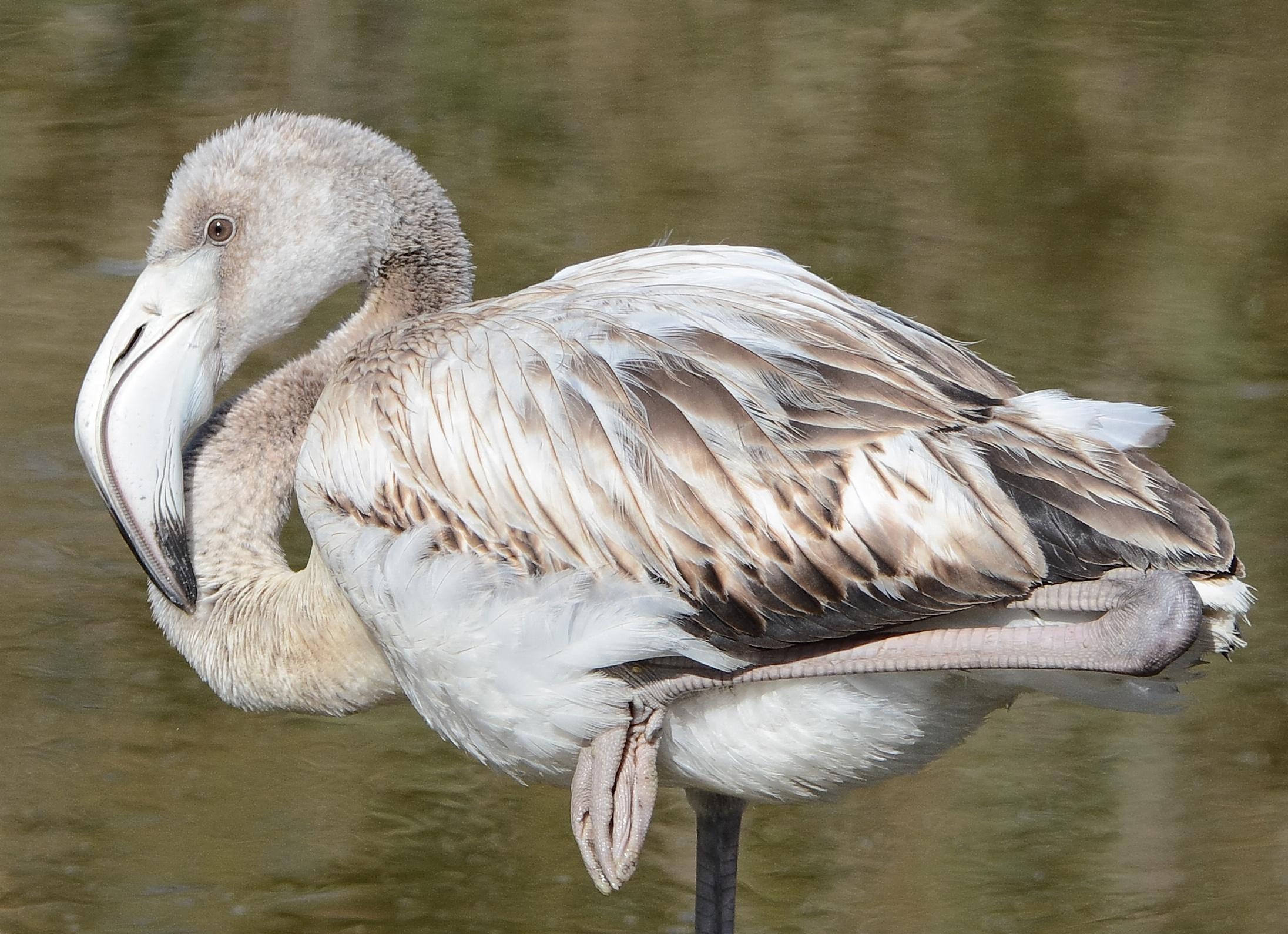 Young flamingo...