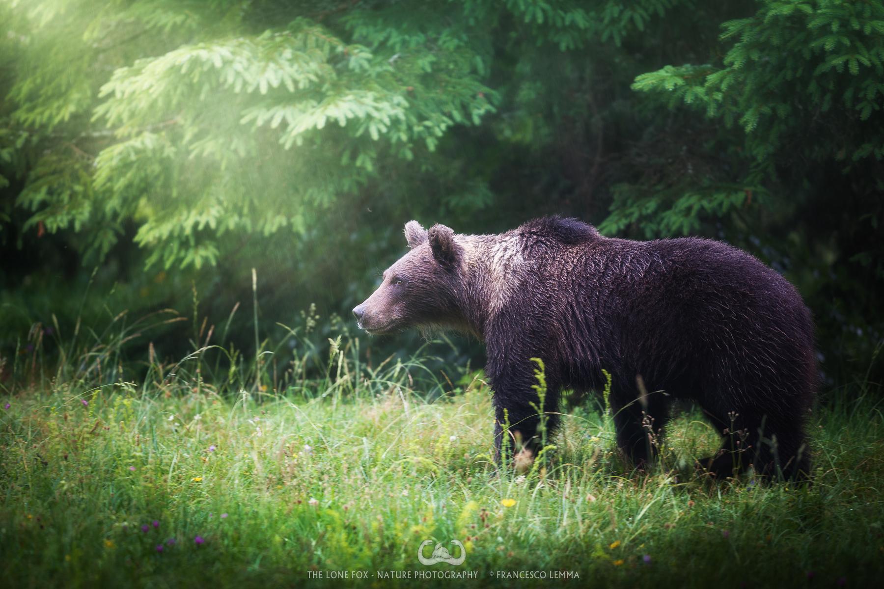 The bear arrives in the rain...