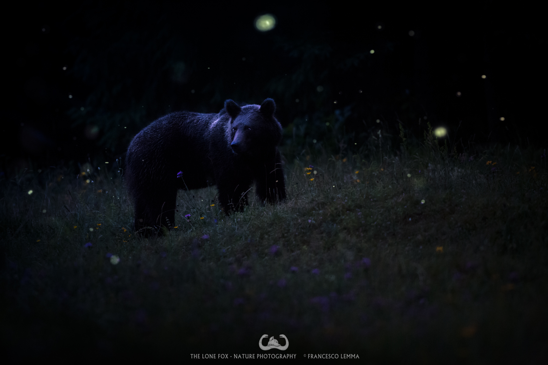The Bear and the fireflies...