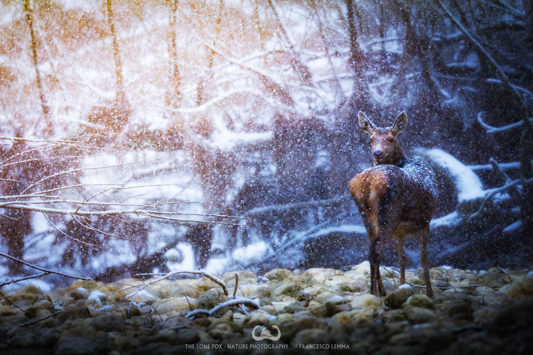 Snow deer...