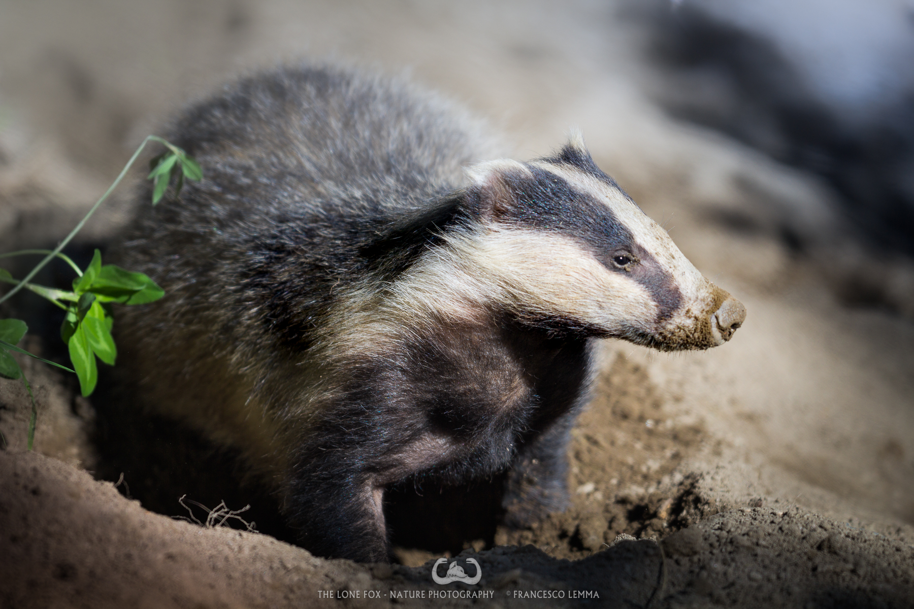 Badger's affairs...