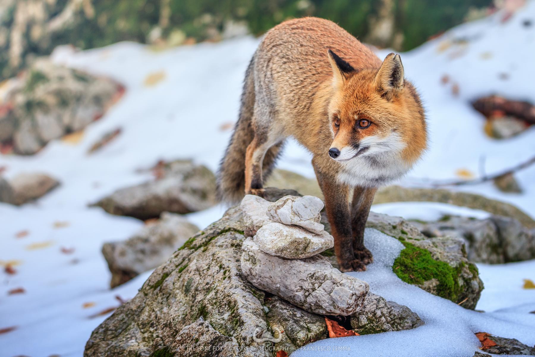 The curious fox 1...