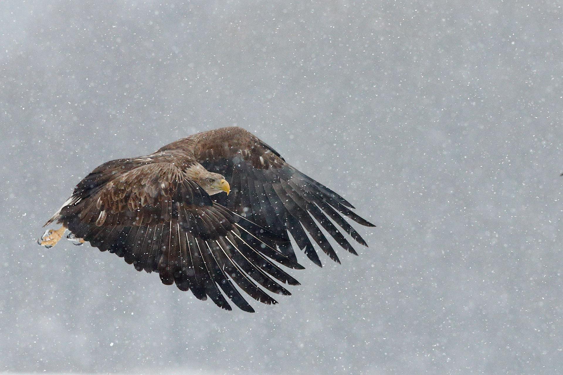 Sea Eagle...