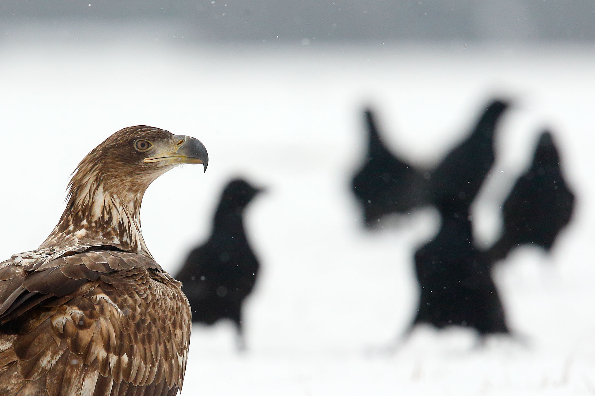 Eagle and crows...