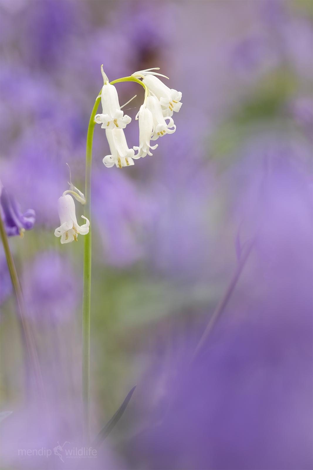 Bluebell - Hyacinthoides non-scripta...