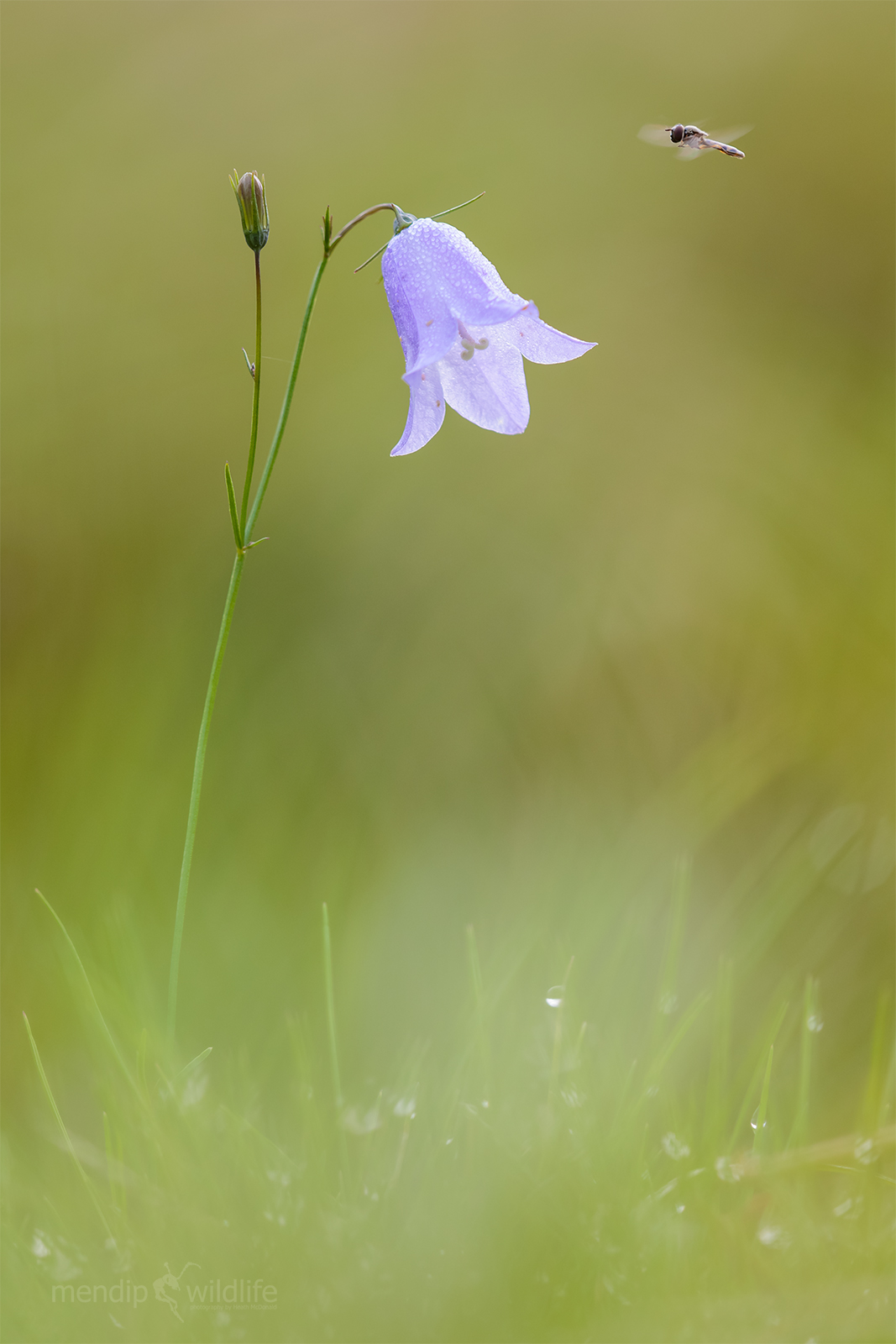 Harebell - Campanula rotundifolia...