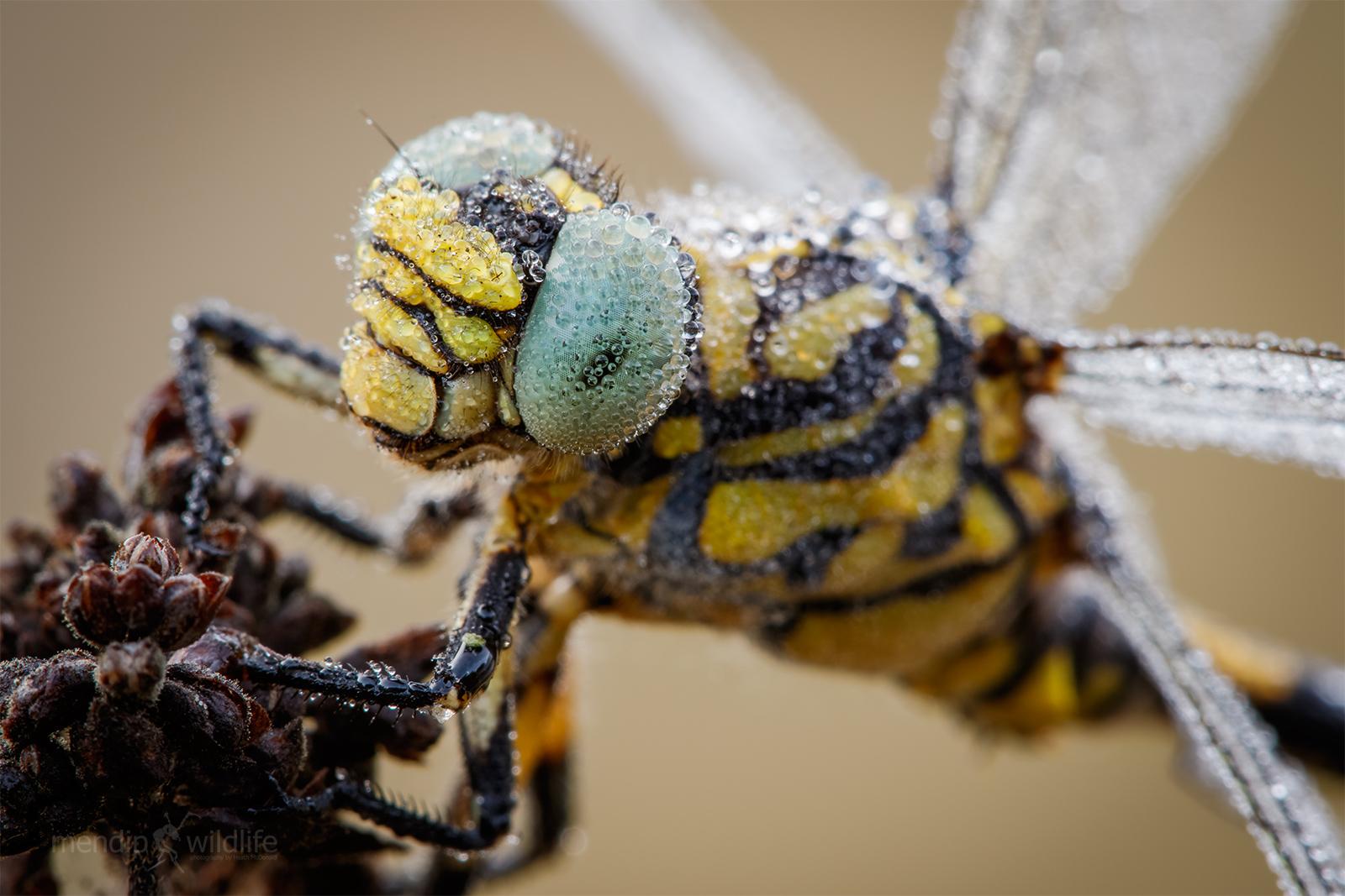 Piccola Pincertail - Onicogomphus forcipatus...