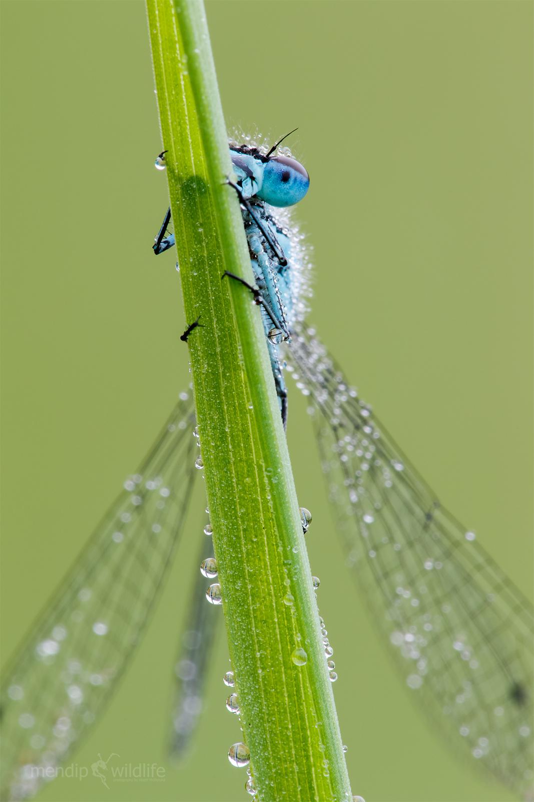 Damselfly azzurro - Coenagrion puella...