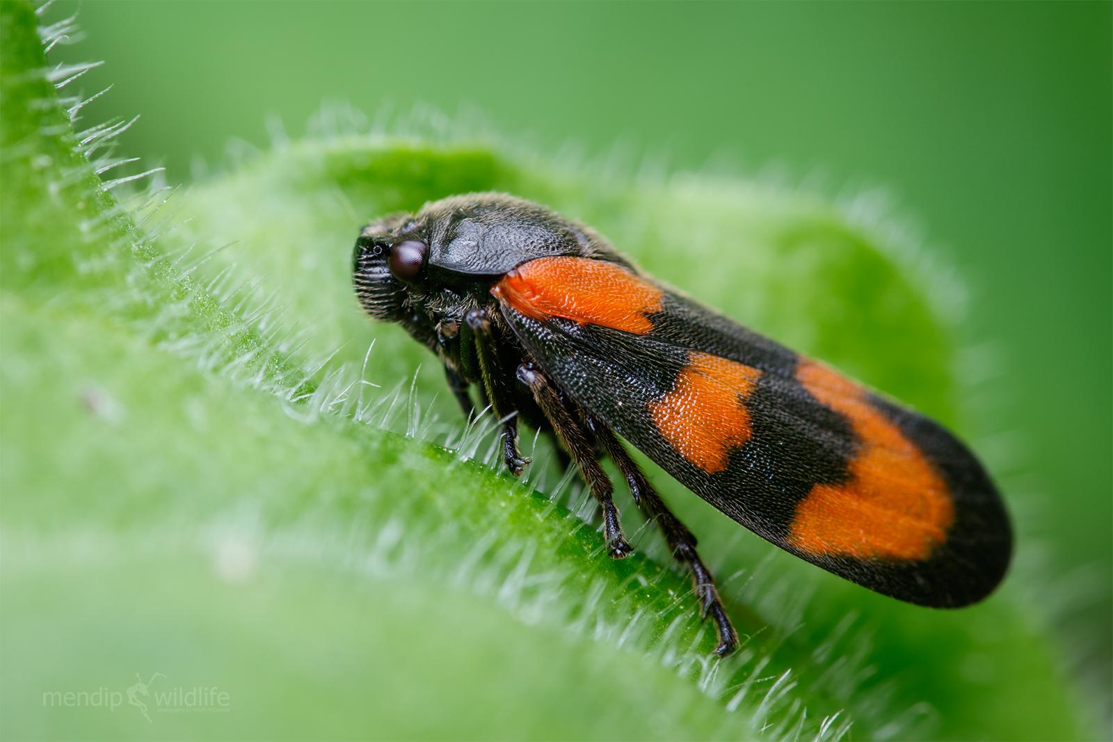 Froghopper rosso e nero - Cercopis vulnerata...