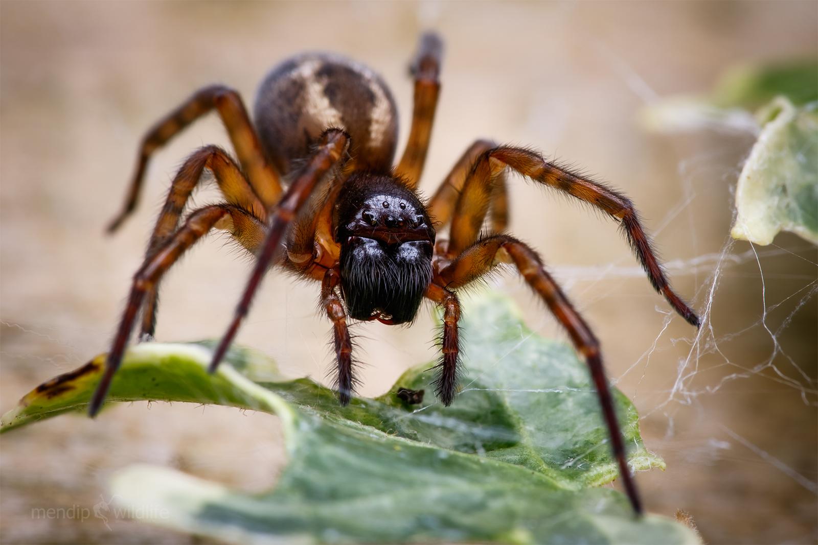 Lace Weaver Spider - Amaurobius similis...