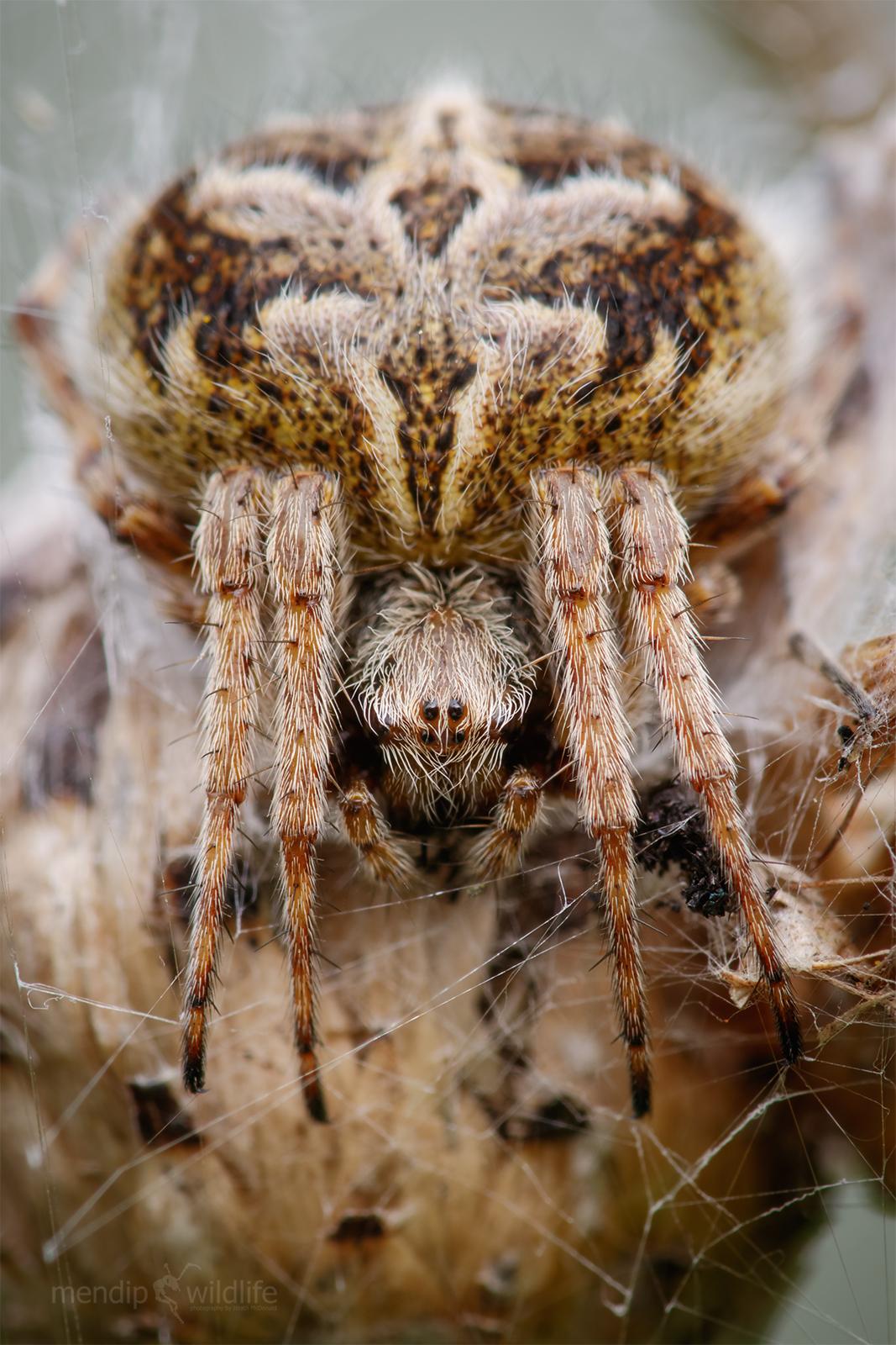 Orb Weaver - Agalenatea redii...