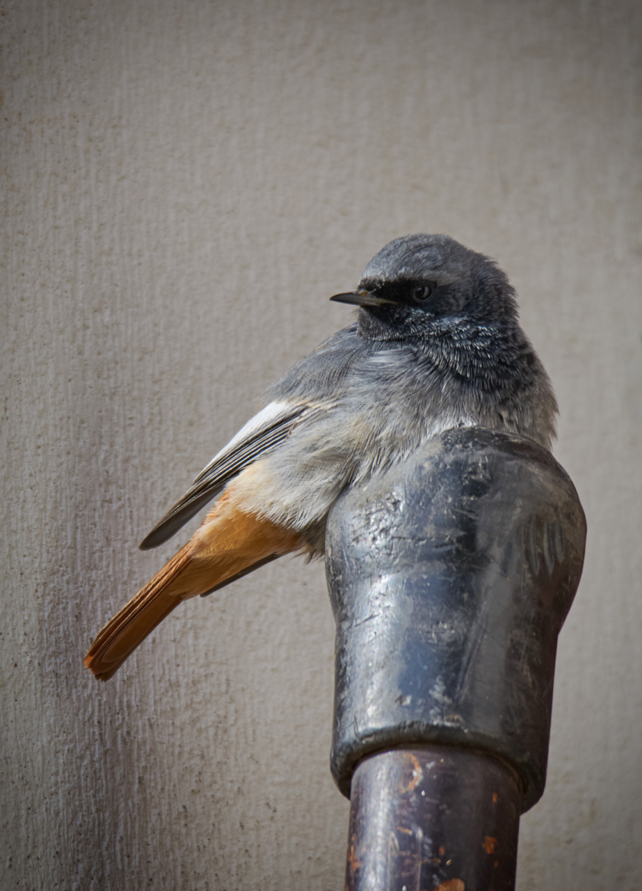 An alternative roost...
