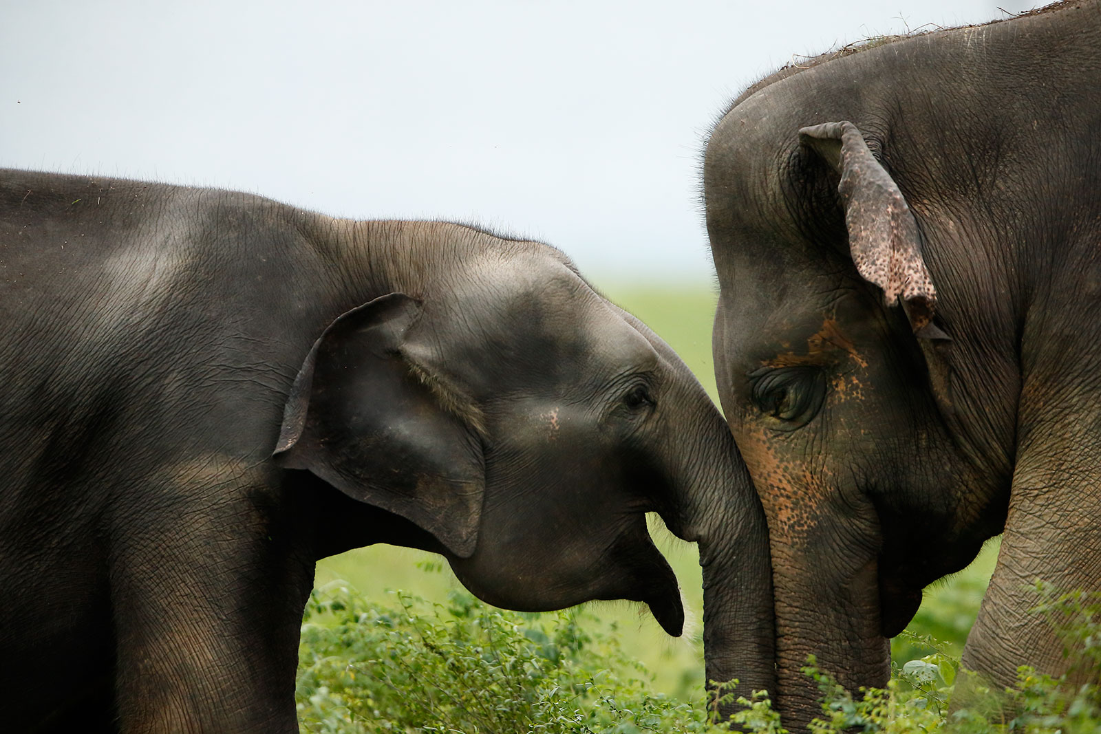 Asian Elephants...