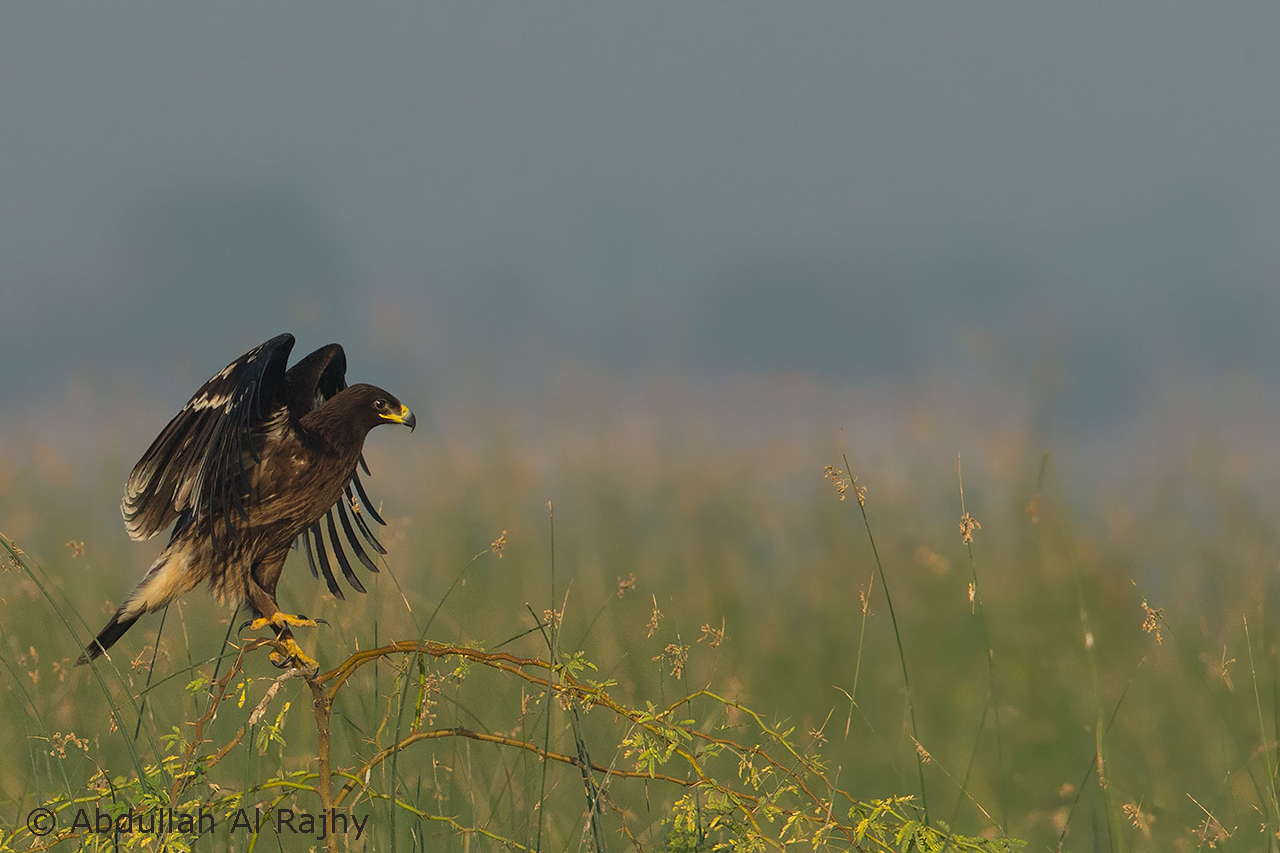Spotted Eagle...