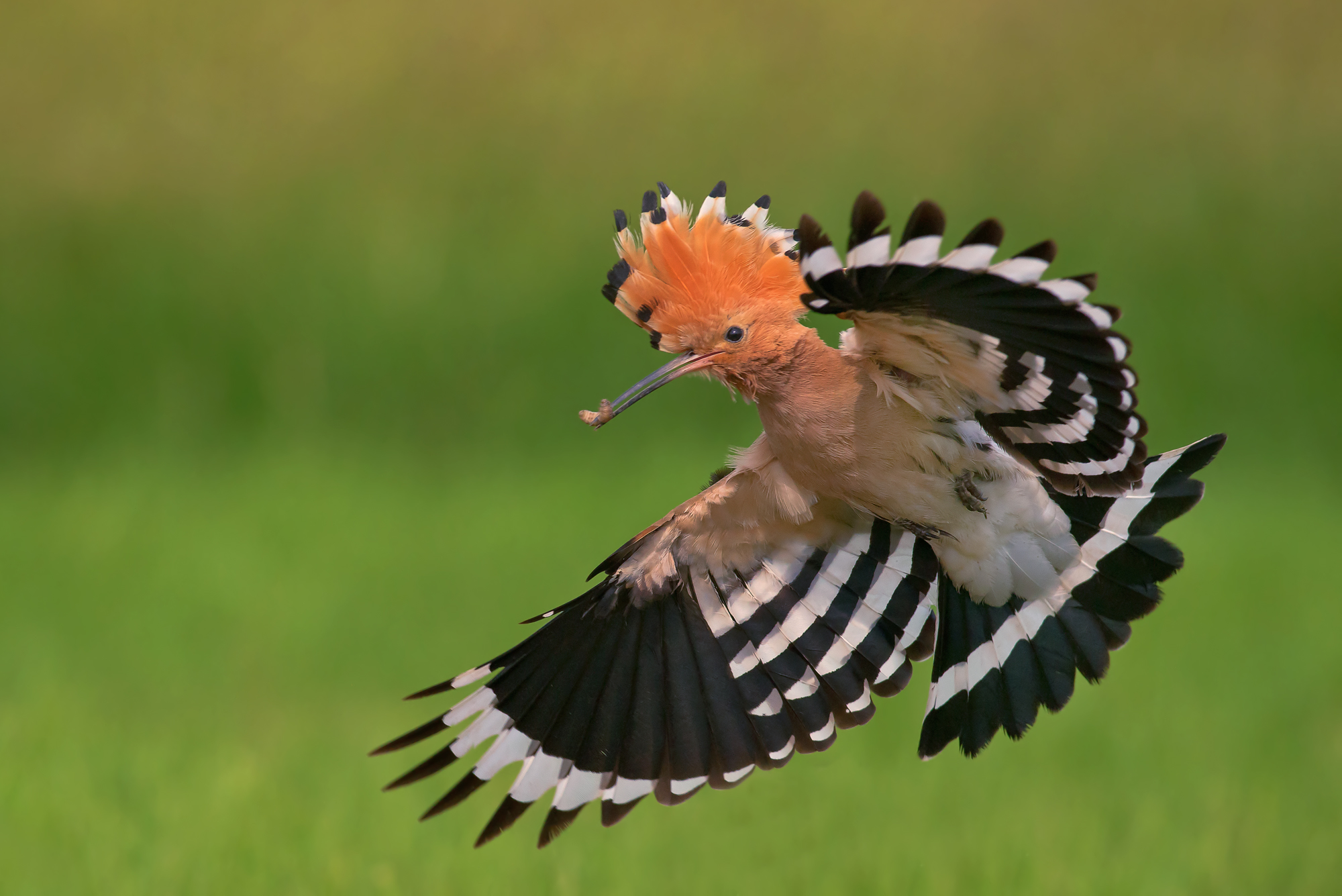hoopoe in action...