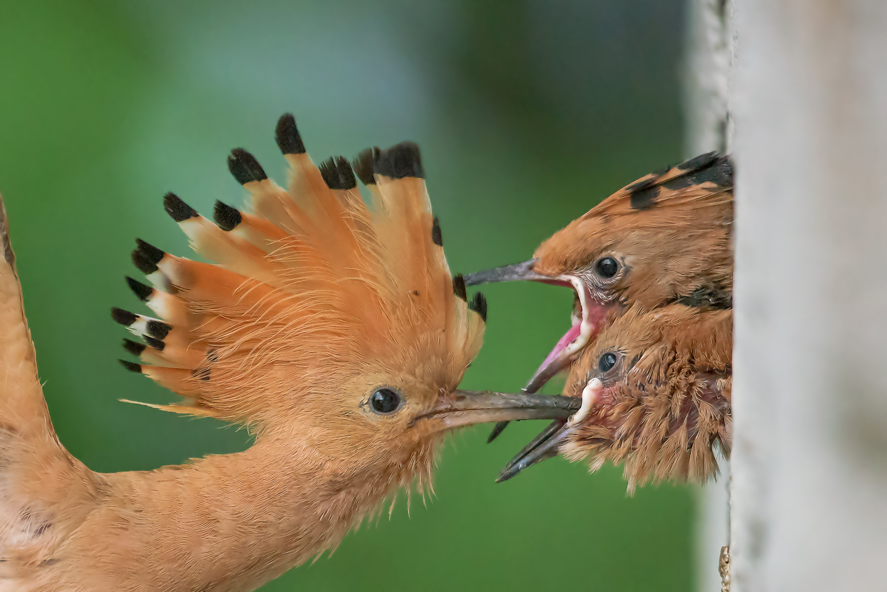 hoopoe with the little ones...