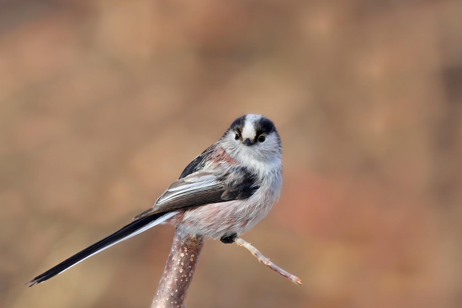 Long-tailed Tit...