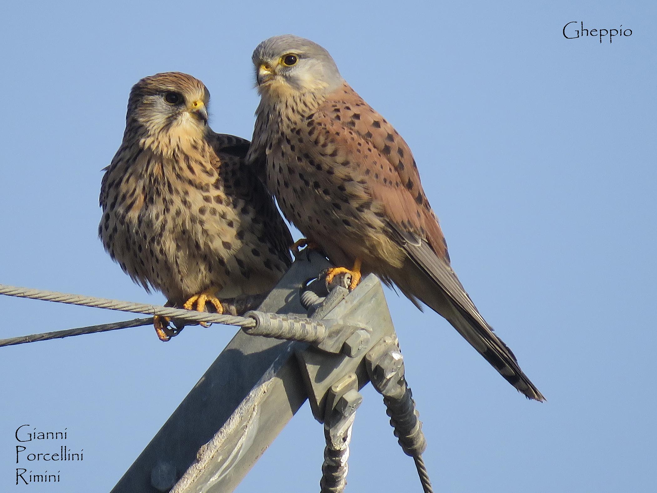 Coppia di gheppi innamorati ! (Falco tinnunculus)....