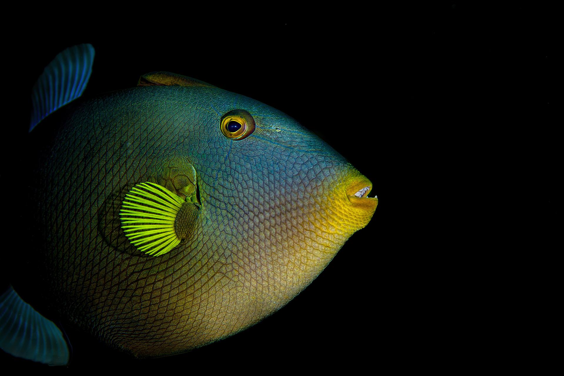 The pinktail triggerfish, Melichthys vidua...