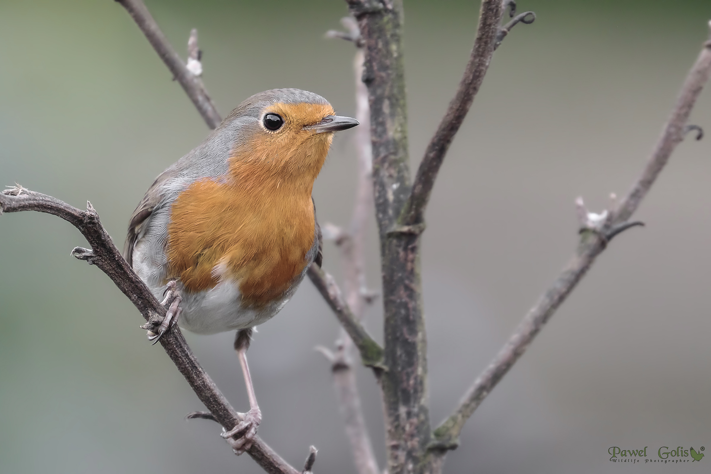 Robin (Erithacus rubecula)...