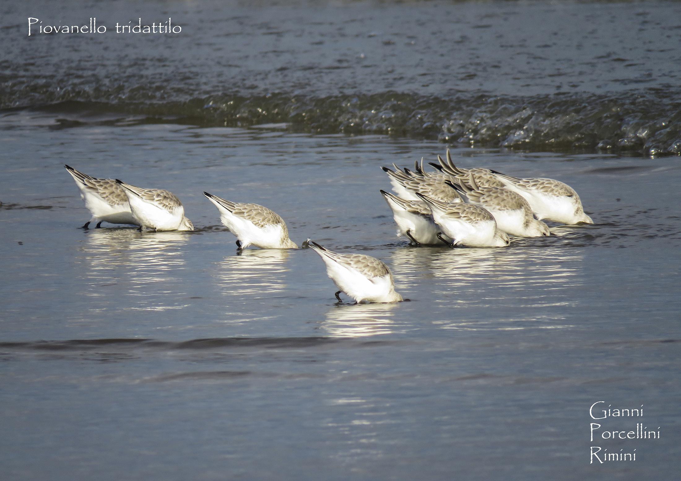 Piovanelli tridattili a pranzo sulla spiaggia di Rimini...