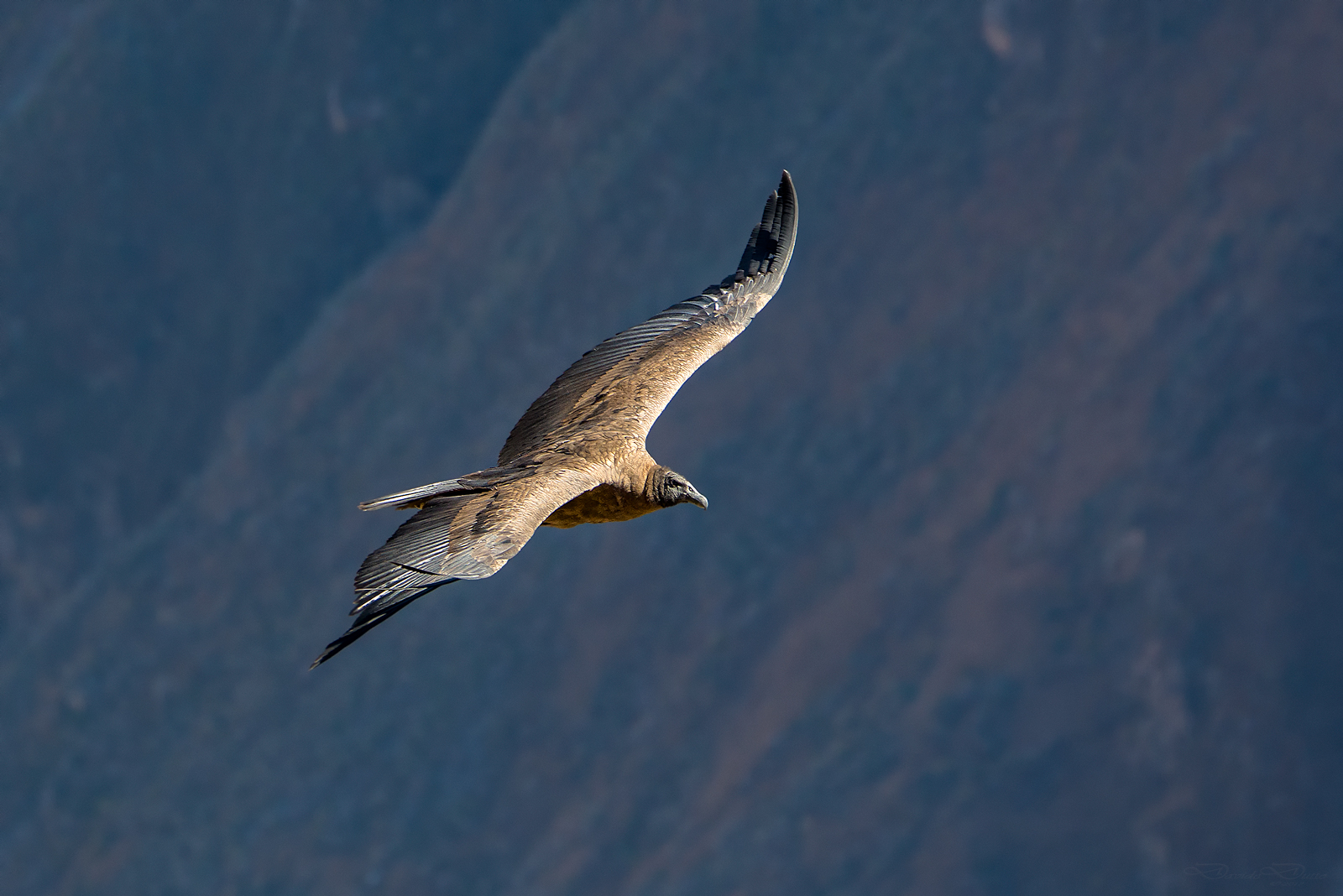 Condor of the Andes...