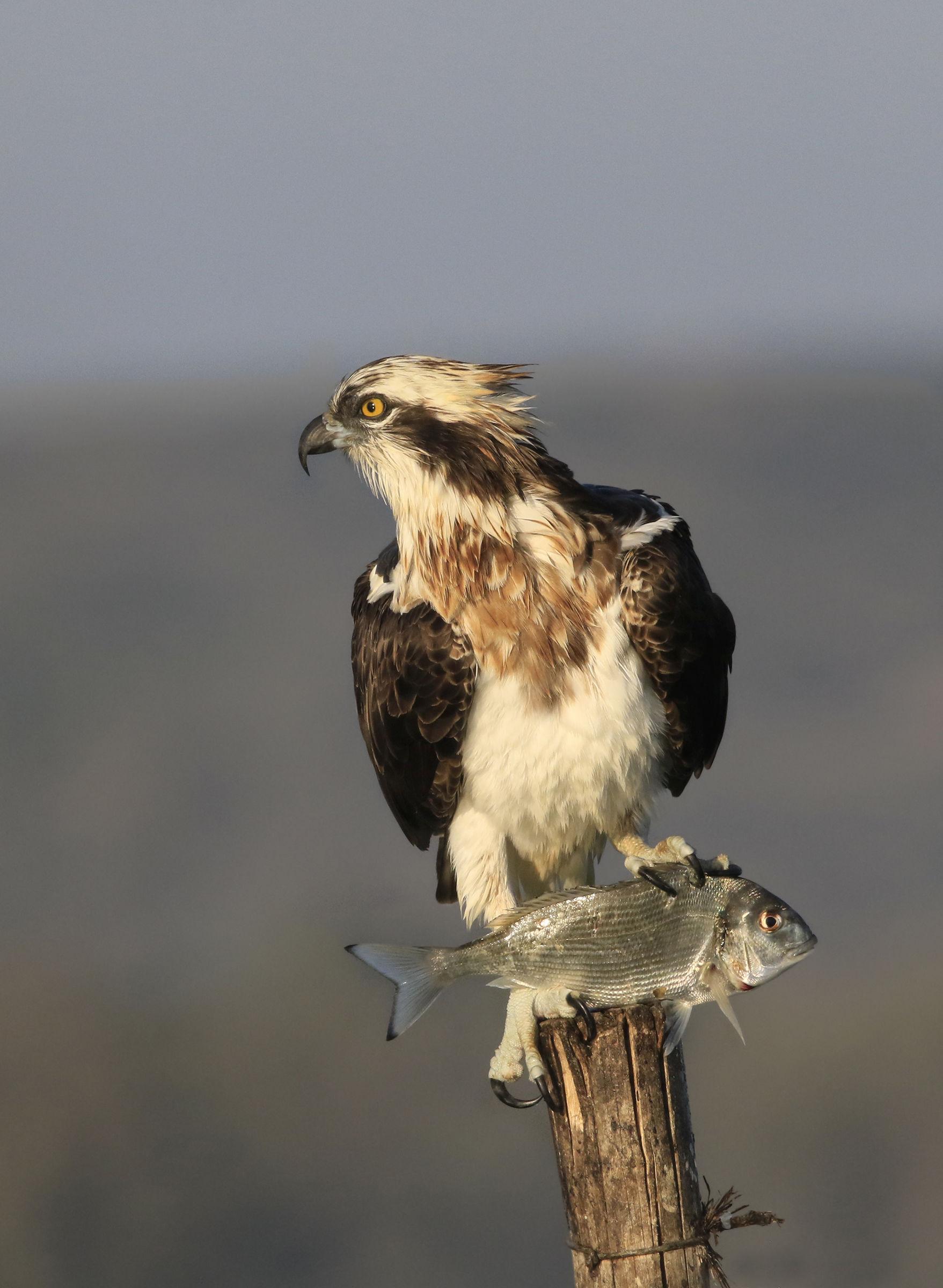 the osprey shows the sea bream...