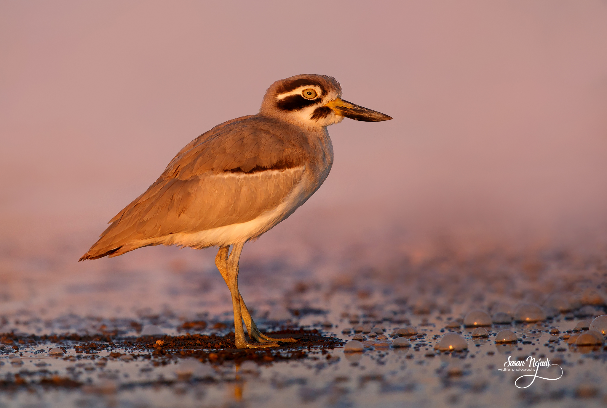 Great stone-curlew...