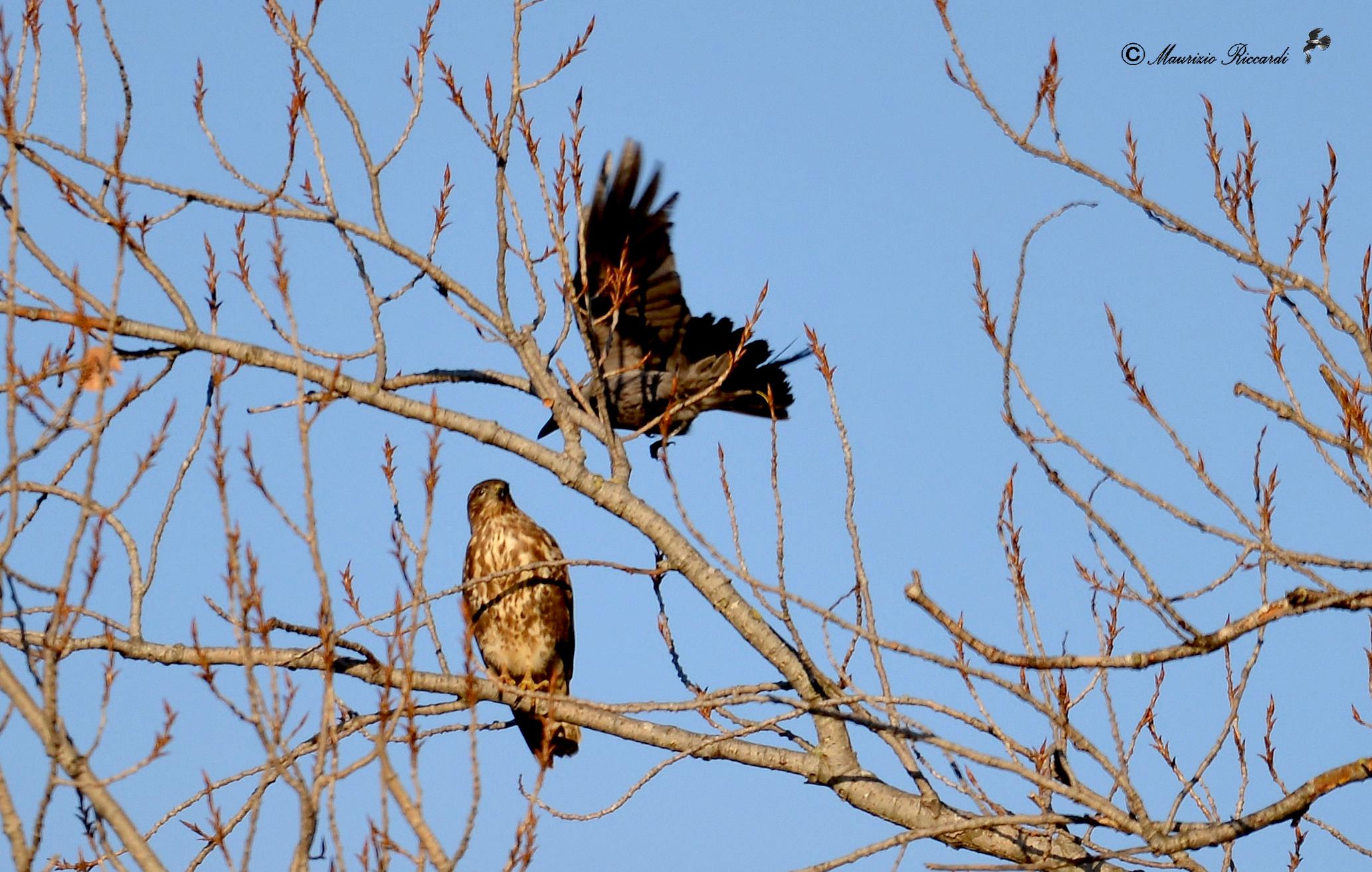 Common buzzard...