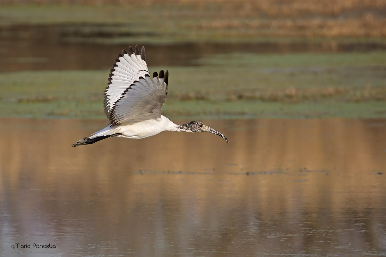 Sacred Ibis (Threskiornis aethiopicus)...