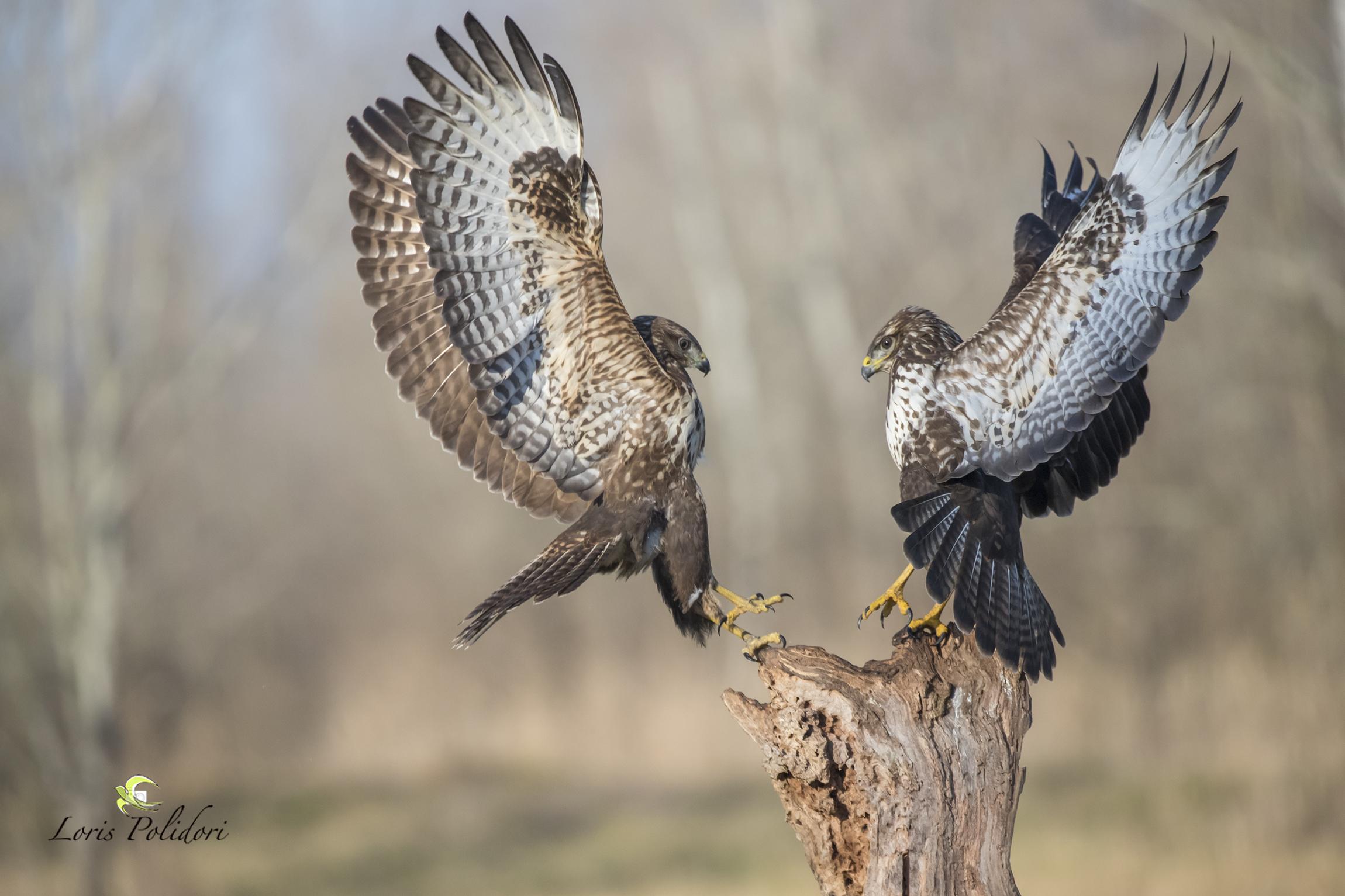 Fight between buzzards...