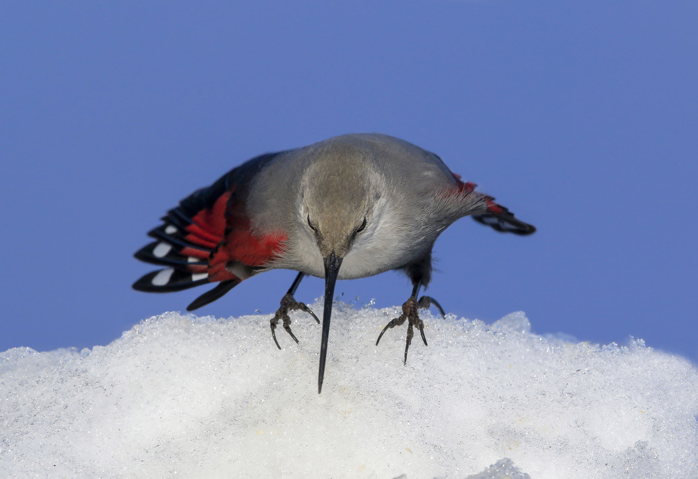wallcreeper lands on the snow...