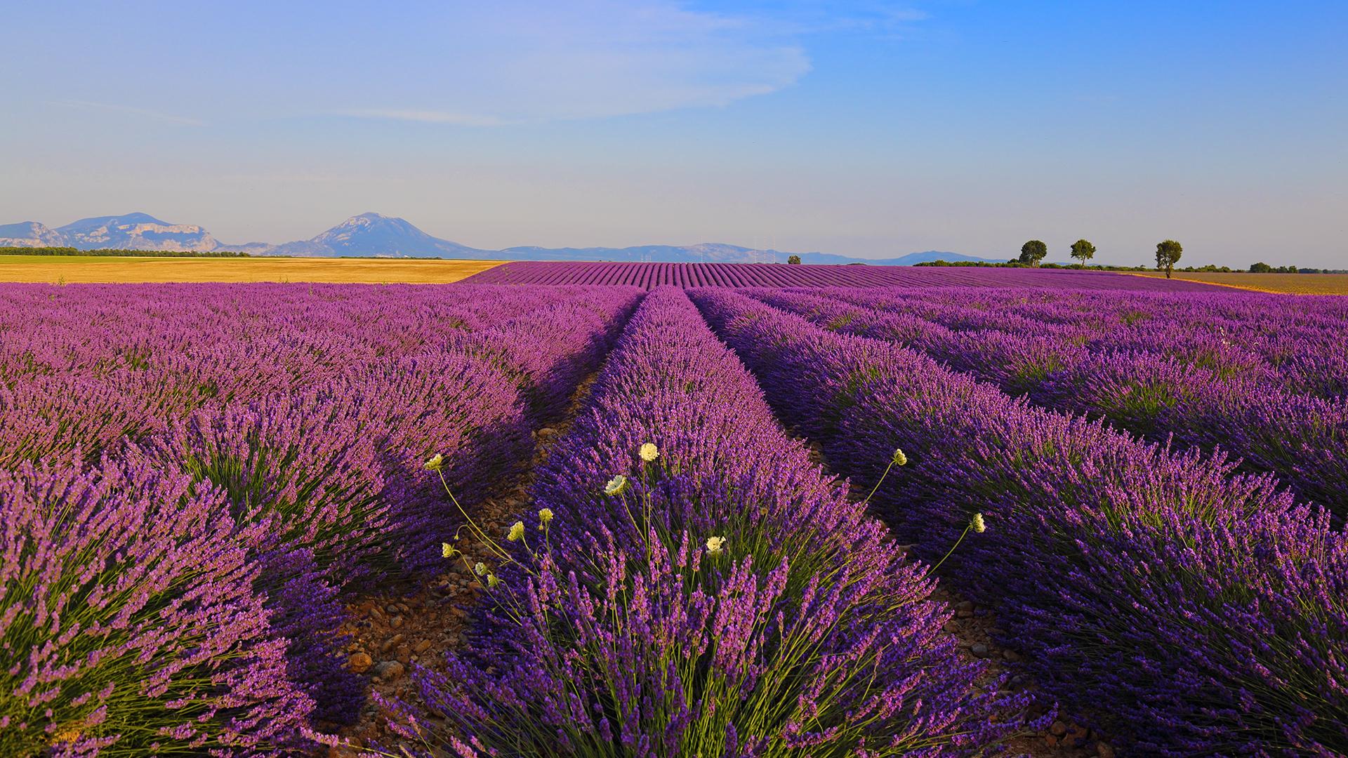 Lavender waves...
