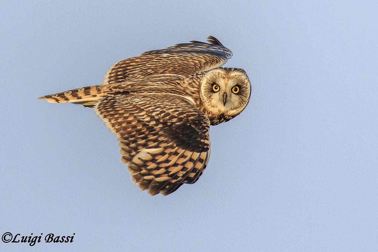Swamp owl...