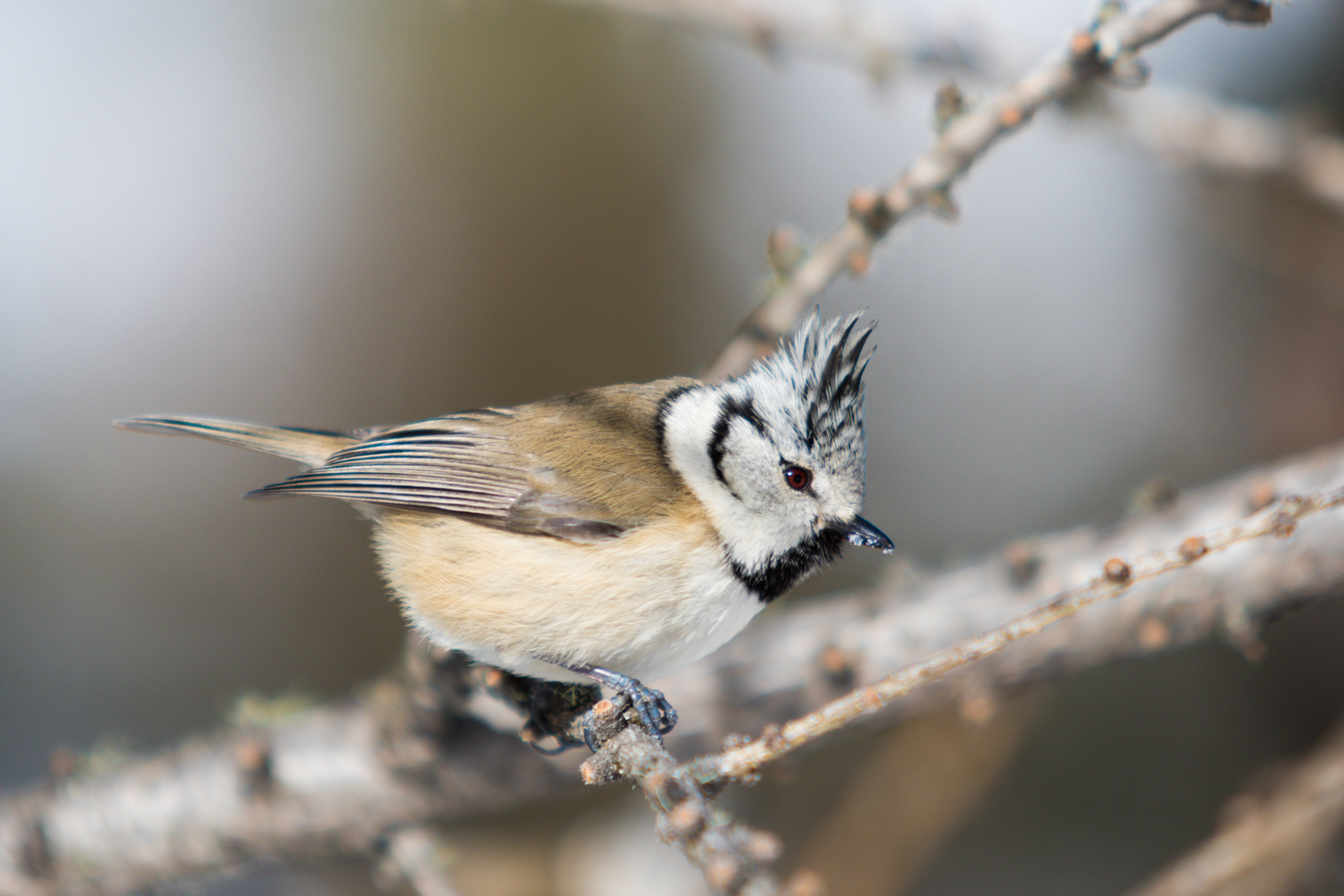 Great Tit by the tuft...
