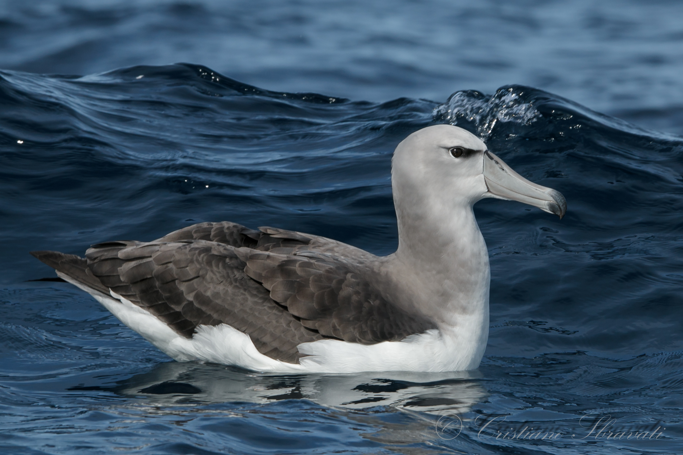 Shy Albatross  juv...