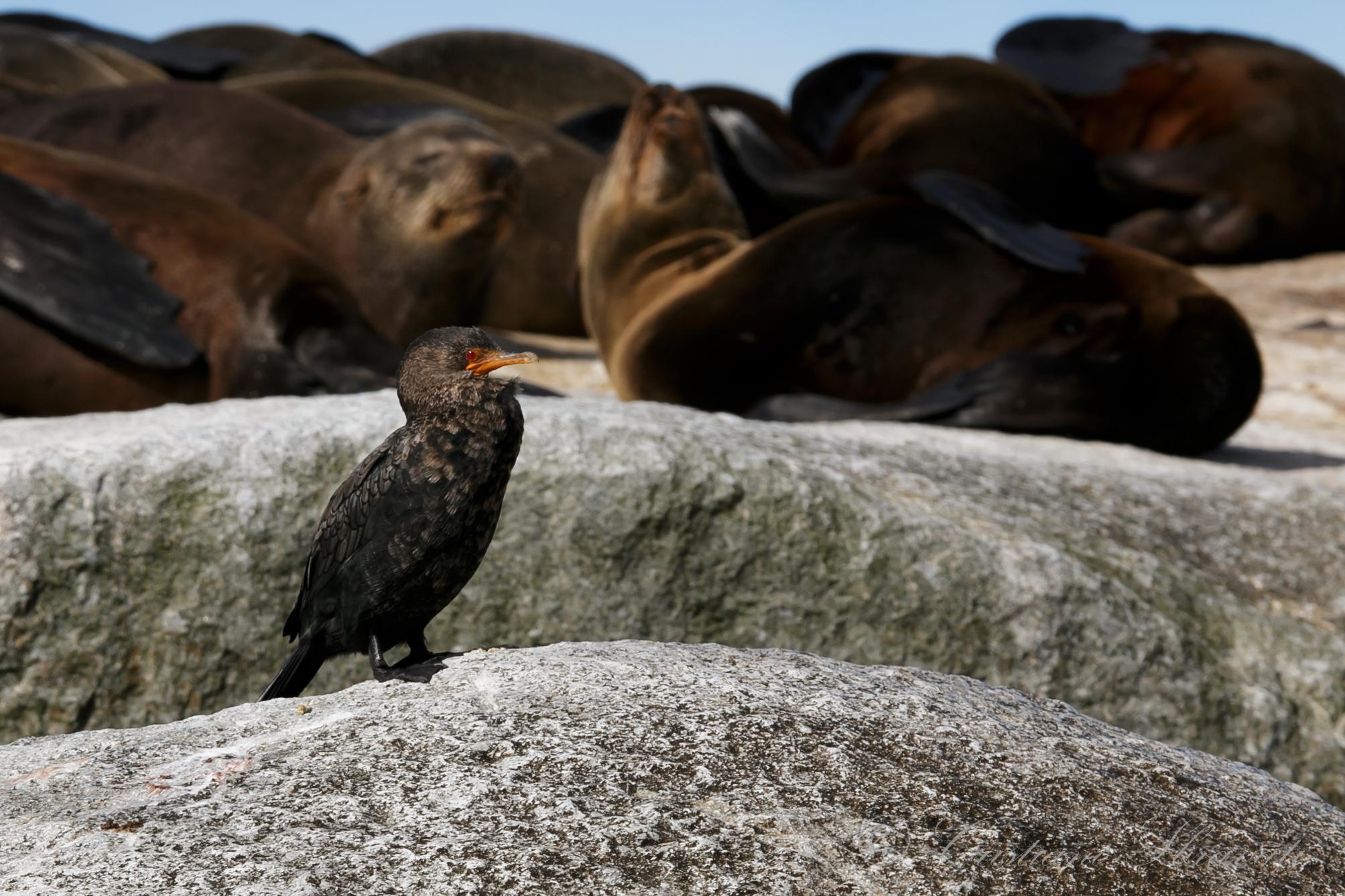 Crowned cormorant...