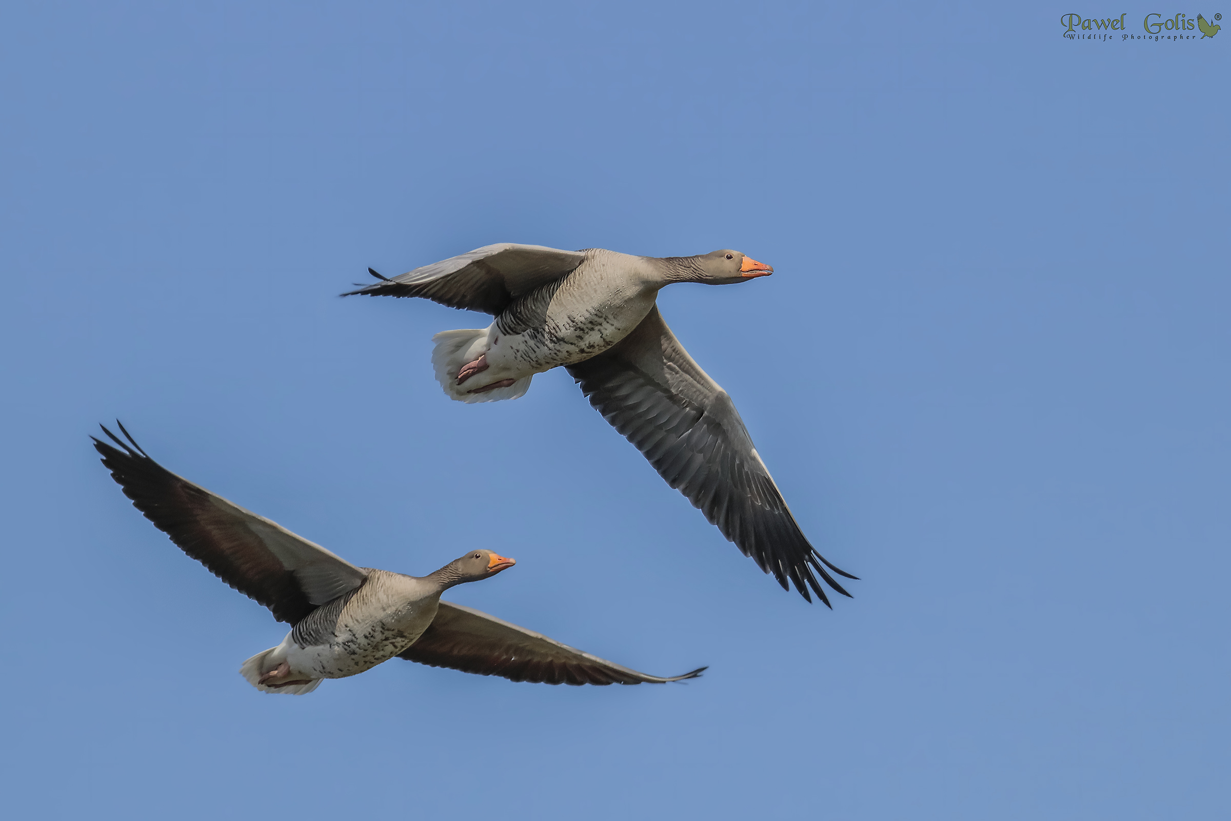 Greylag gooses in fly...