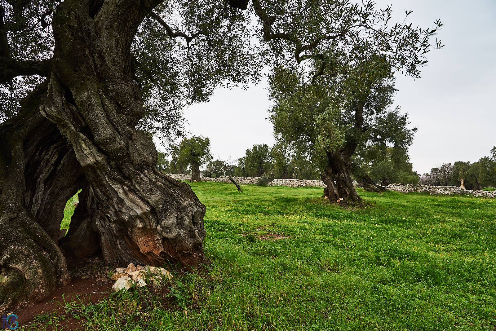 Antica Masseria Brancati - Oliveto secolare...