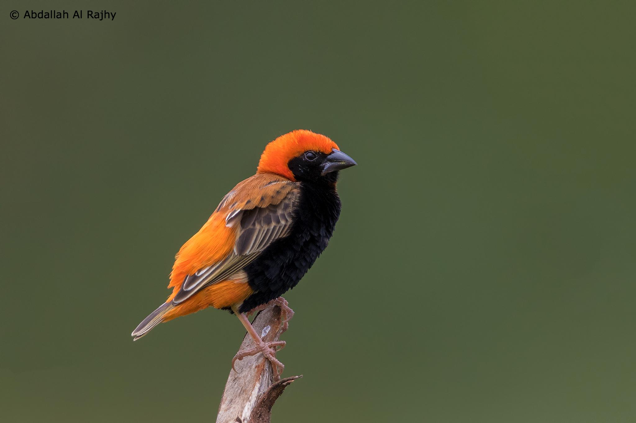 Bishop bird...