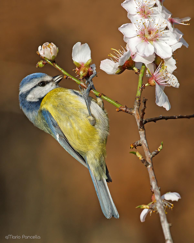 Blue tit on almond in bloom...
