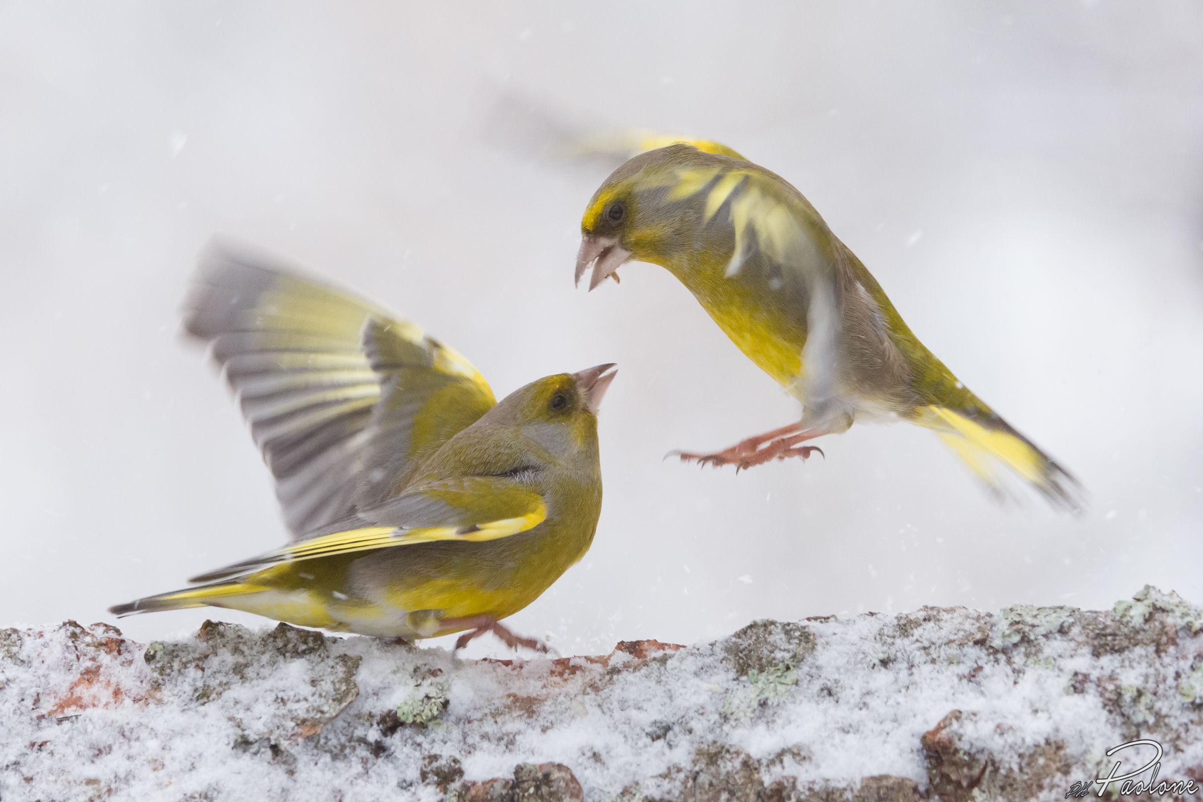 The battle of the verdons !!...