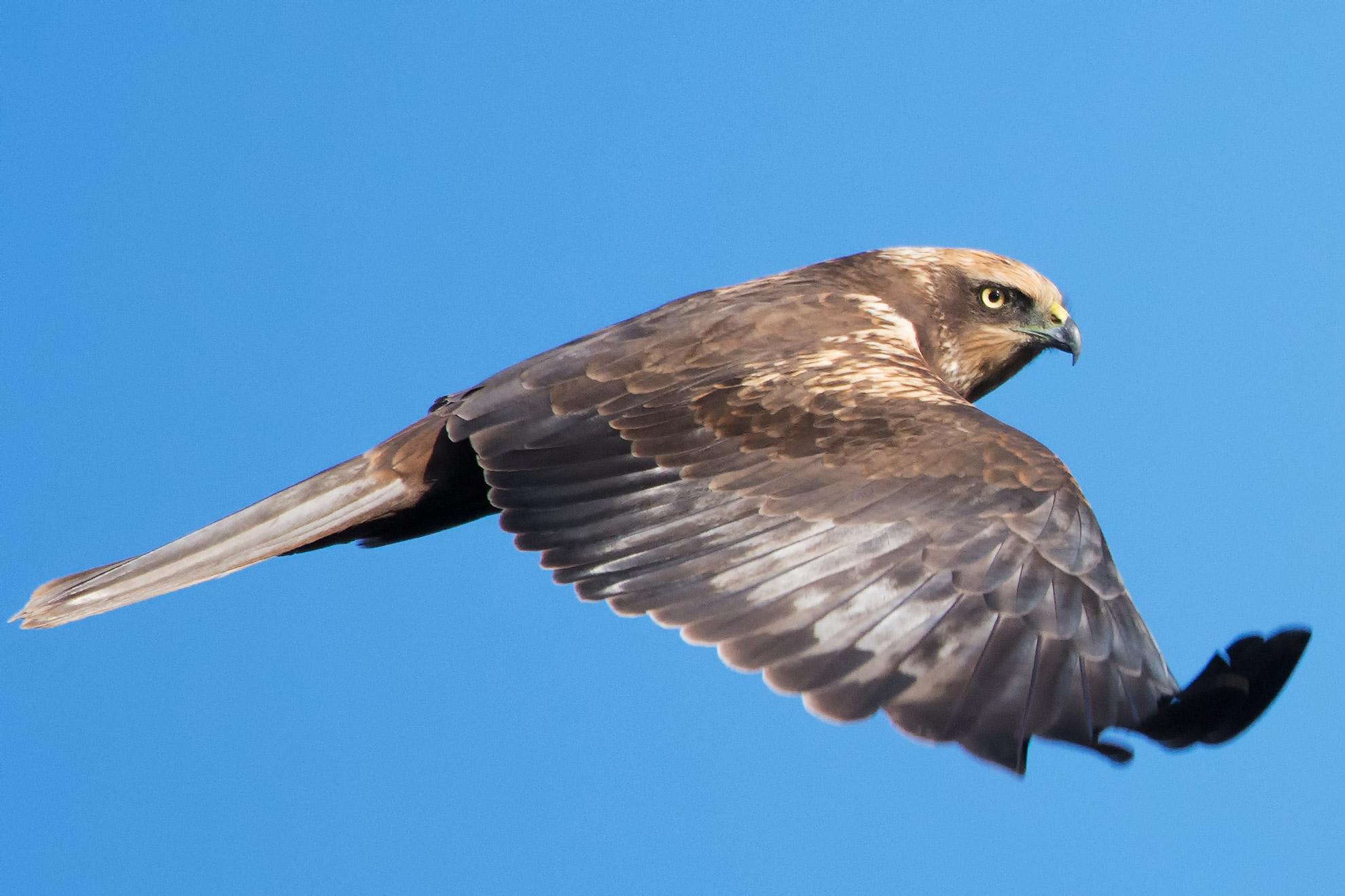 Falco di Palude M....