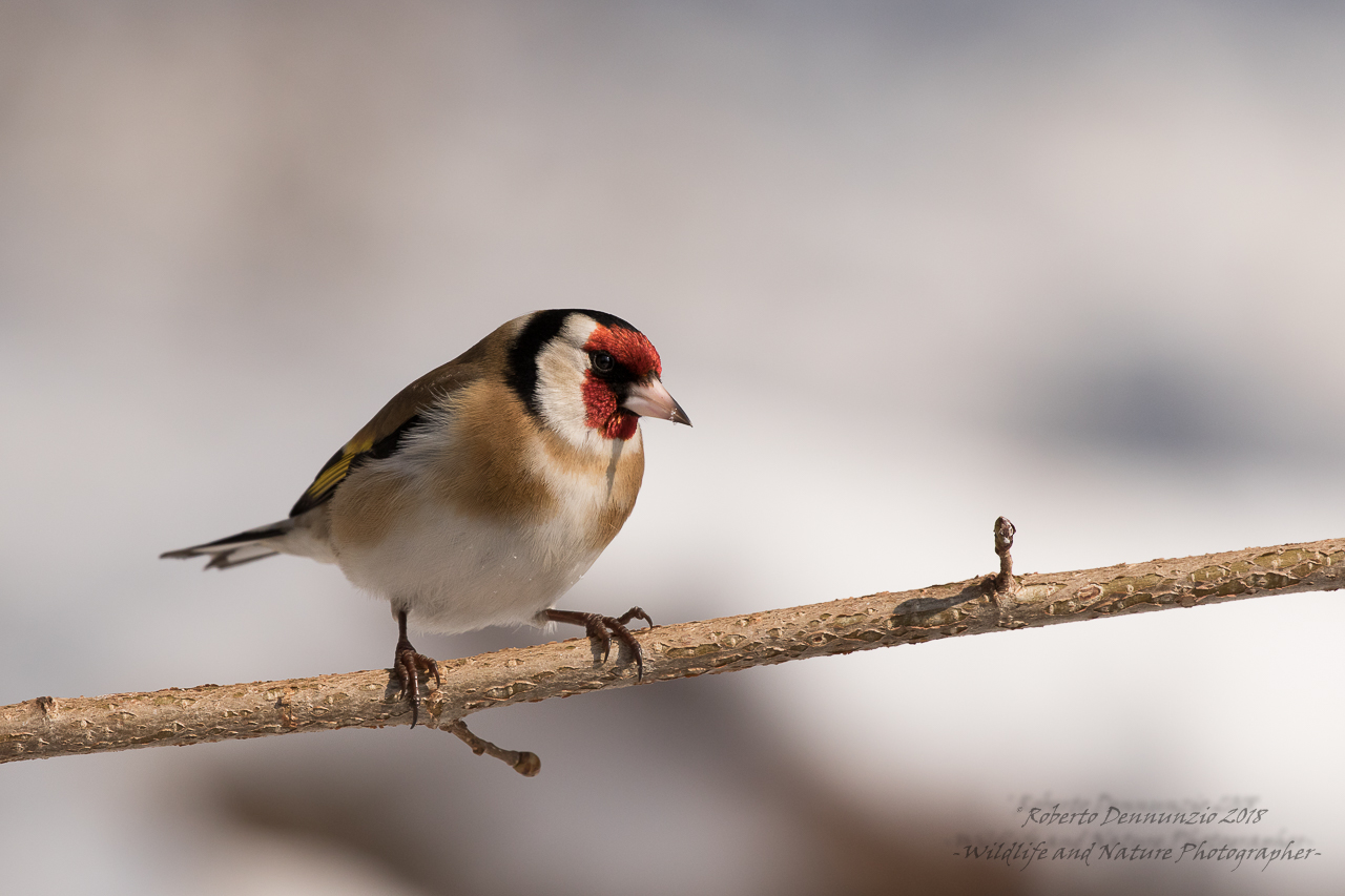 goldfinch among the gems...