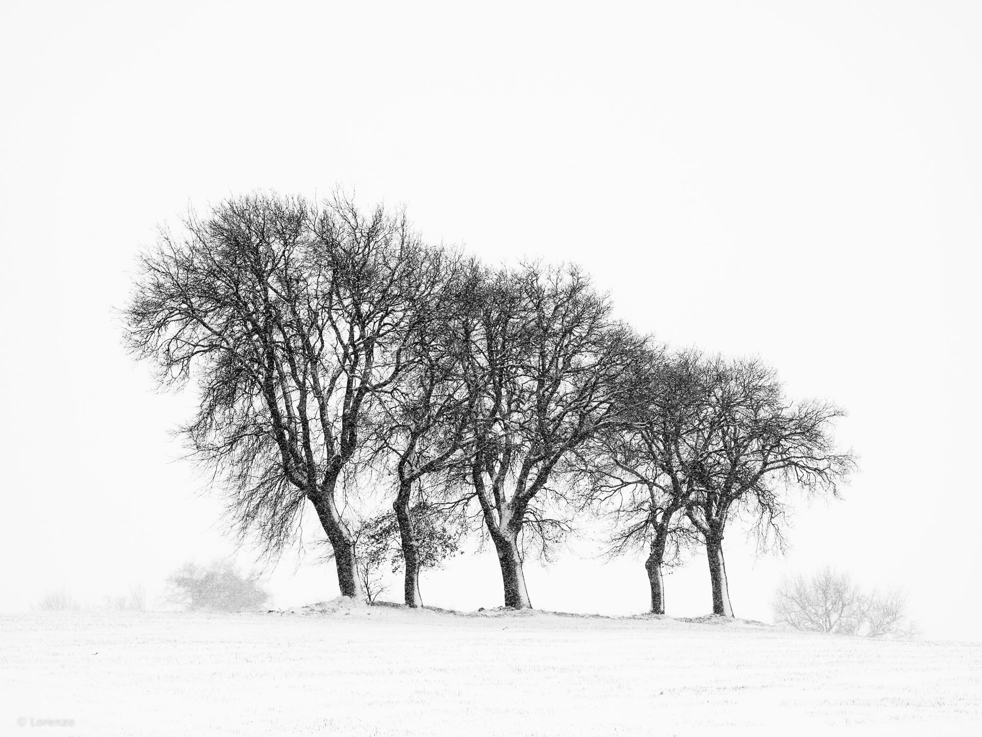 oaks and snow...