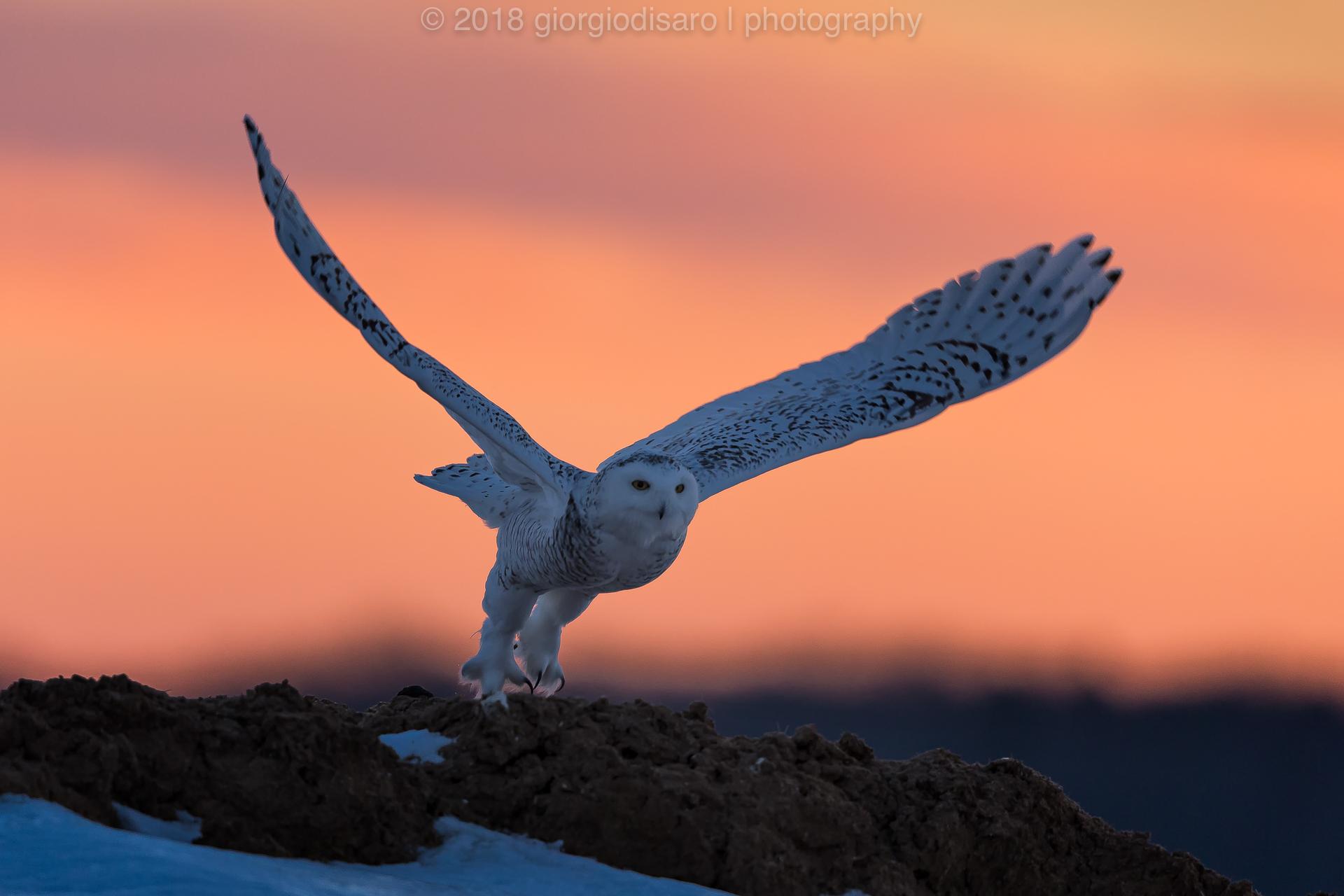 Snowy Owl 2...