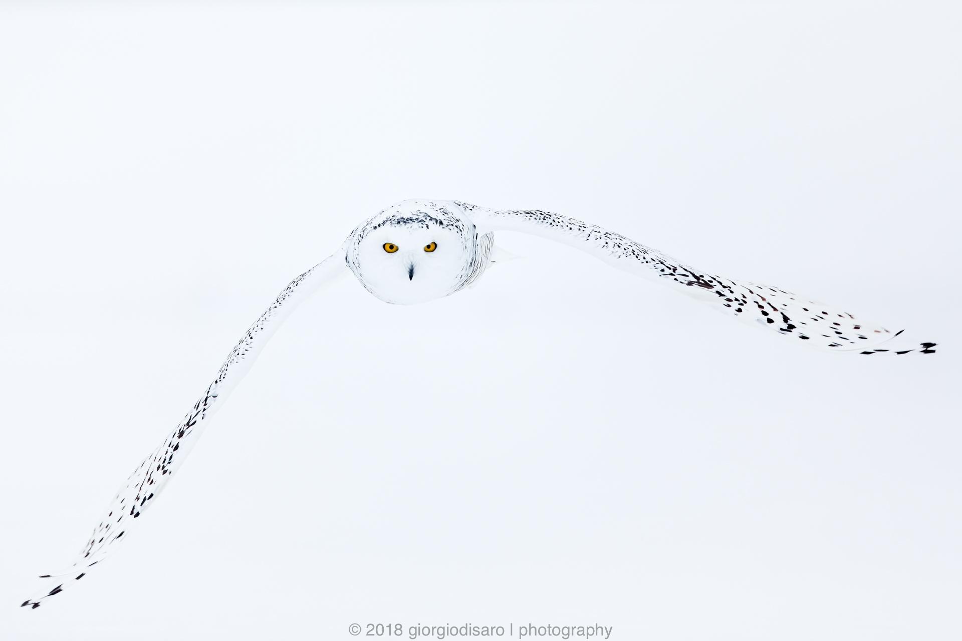 Snowy Owl high-key...