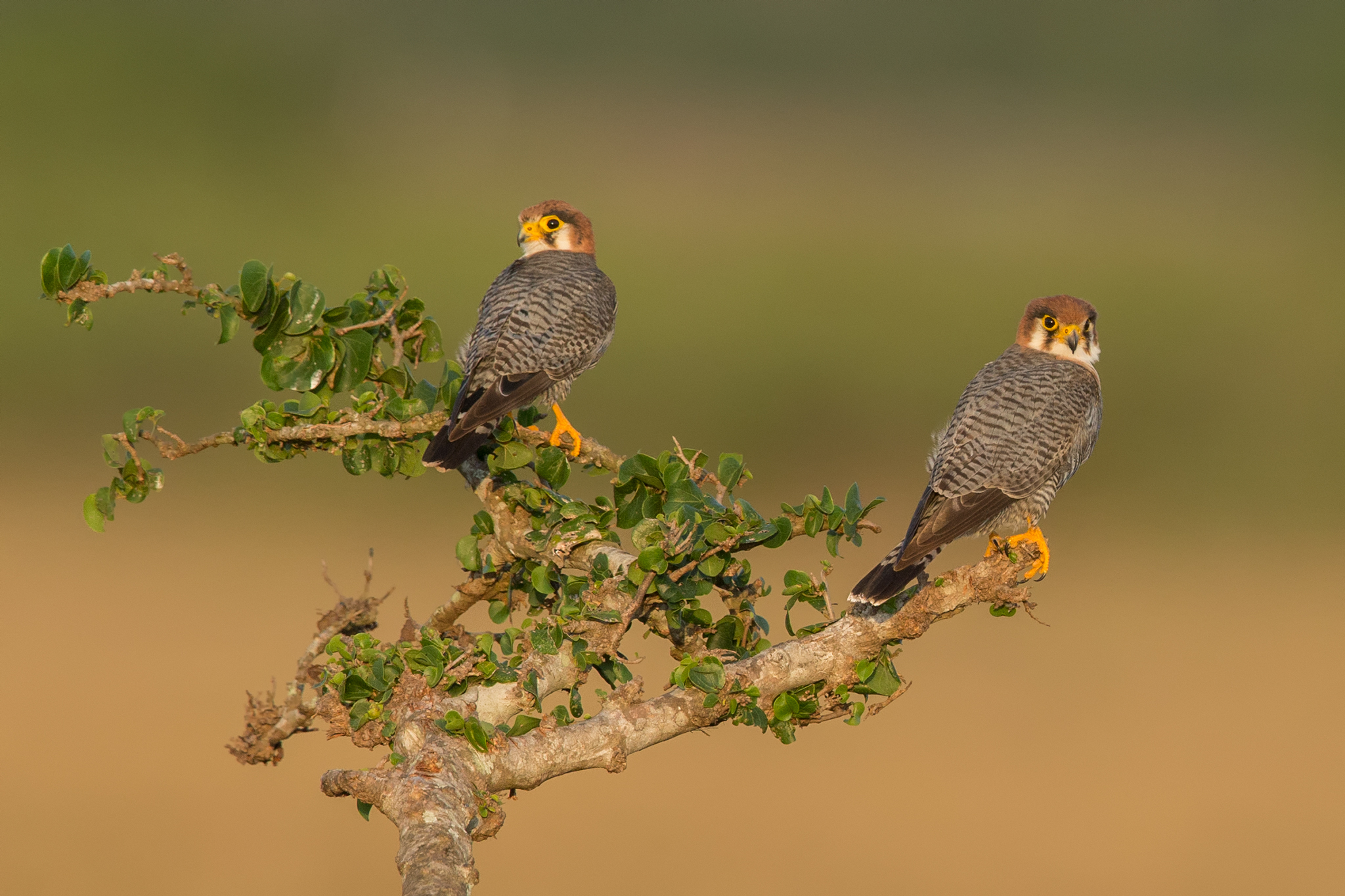 Red Necked Falcon...