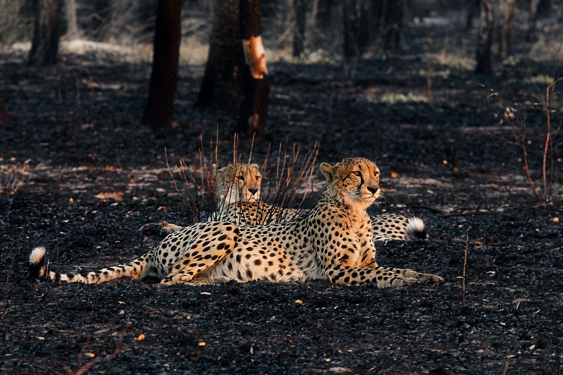 Cheetahs from Kafue...