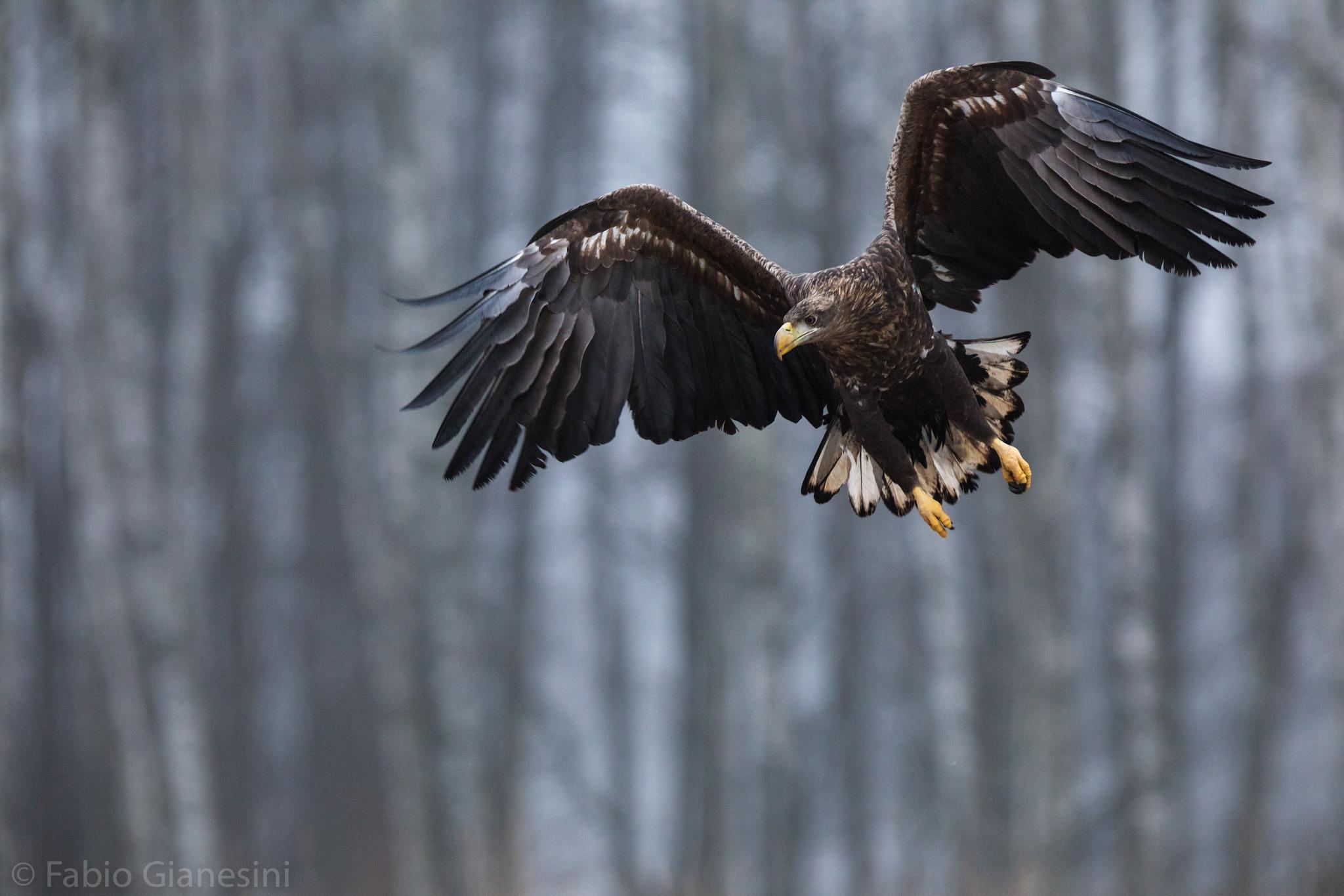Aquila di Mare...